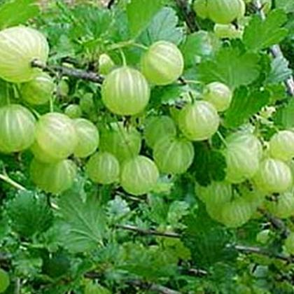 amla Health and Beauty Benefits of Amla (Indian Gooseberry)