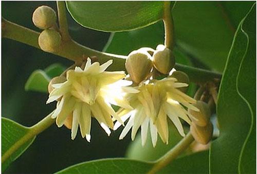 Bakula Flower