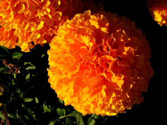 Marigold face pack